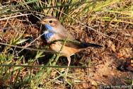 Pisco-de-peito-azul (Luscinia svecica)