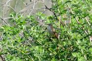 Felosa-dos-juncos (Acrocephalus schoenobaenus)