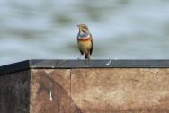 Piso-de-peito-azul (Luscinia svecica)