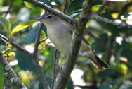 Toutinegra-das-figueiras(Sylvia borin)