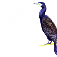 Corvo-marinho