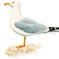 Gaivota-de-patas-amarelas
