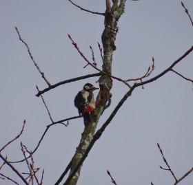 Pica-pau-malhado-grande (Dendrocopos major)