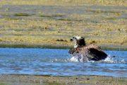Águia-pesqueira (Pandion haliaetus)