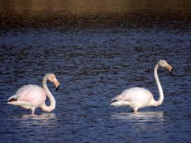 Flamingo-rosado (Phoenicopterus roseus)