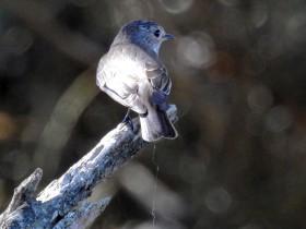 Papa-moscas-cinzento (Muscicapa striata)