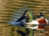 Pato-trombeteiro (Anas clypeata)