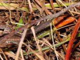 Lagartixa-do-mato-comum (Psammodromus algirus)