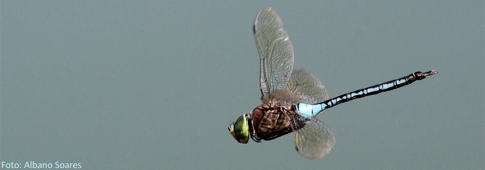libelulas-libelinhas-eilp